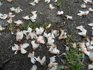 Bloesem van de pseudo acacia in de Riviernebuurt